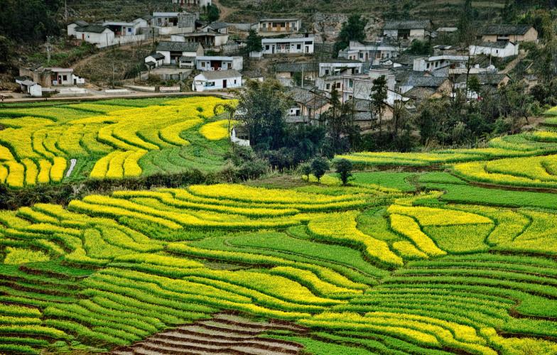 Canola Terraces; Yunnan,China