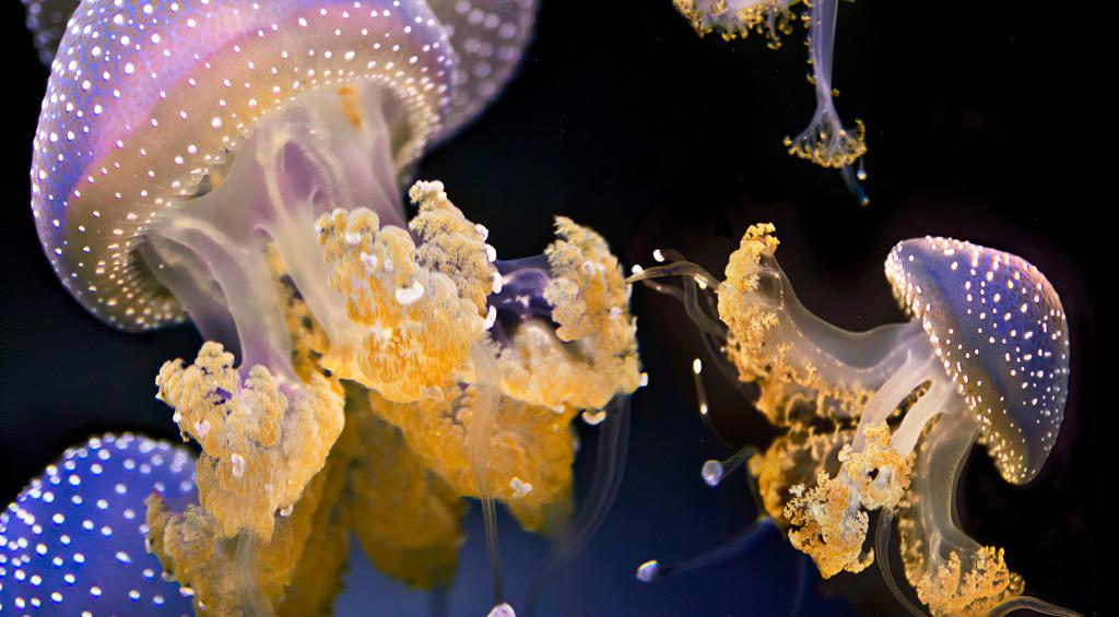 Cushion Jellies; Waikiki Aquarium, Hawaii