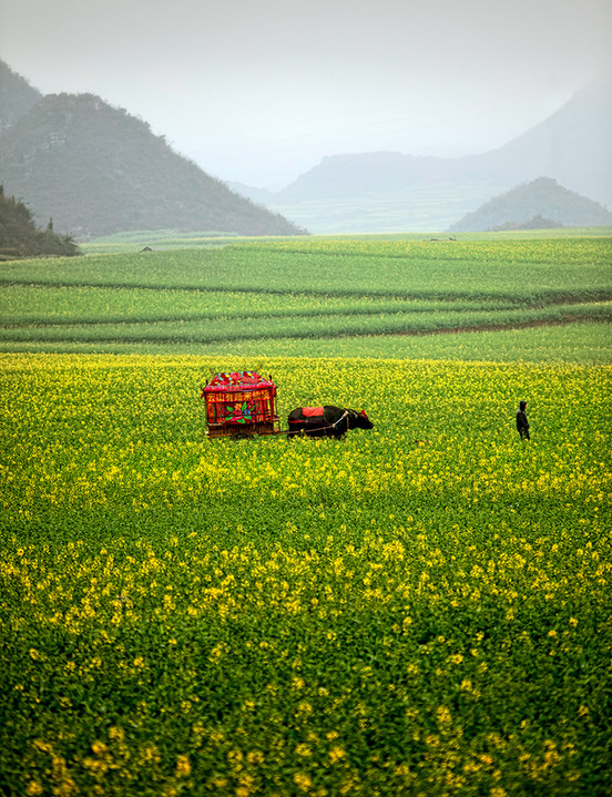Canola Fields;  Luoping,China