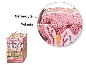 melanocytes.jpg