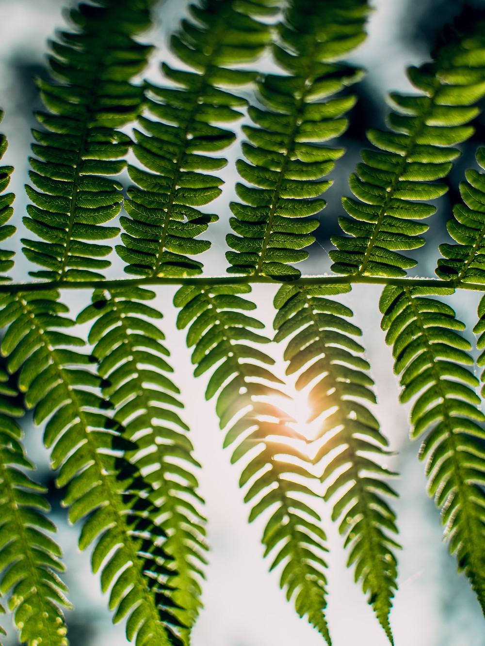 Sunlight shining through ferns