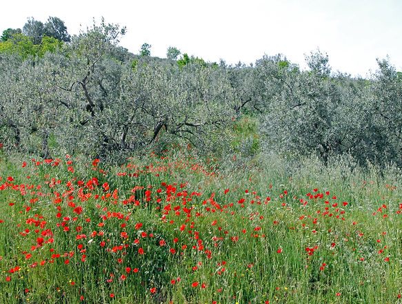 olive trees and poppies.jpg