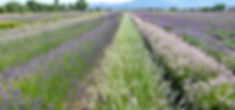 lavender garden assisi Umbria Tuscany.jpg
