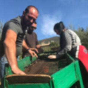 olive harvest 2017.jpeg