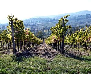 Sagrantino vineyard.jpg