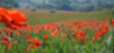 Assisi Poppies.jpg