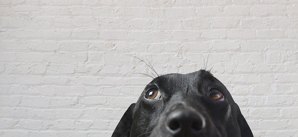 Closeup of a Black Dog_edited.jpg