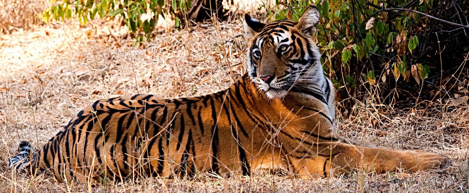 Bengal tiger, Ranthambhore Park, India