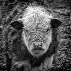 Bad Boy Cow