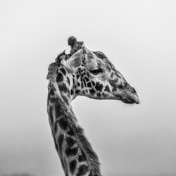 Giraffe Reconsiders