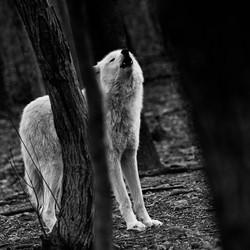 Baying Timberwolf