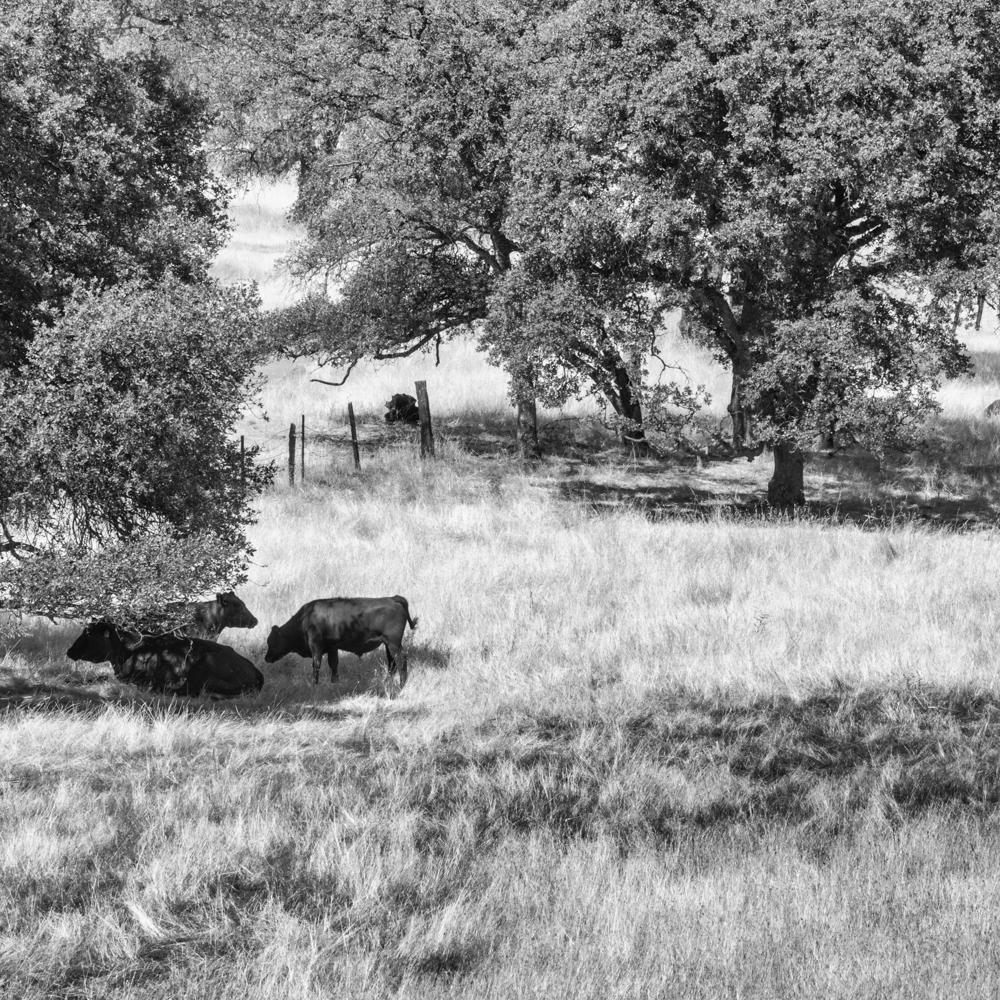 Meadow Cows