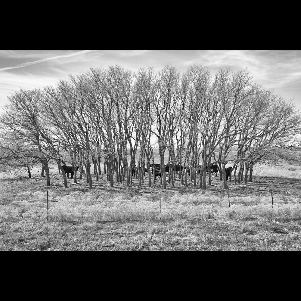 Cow Trees