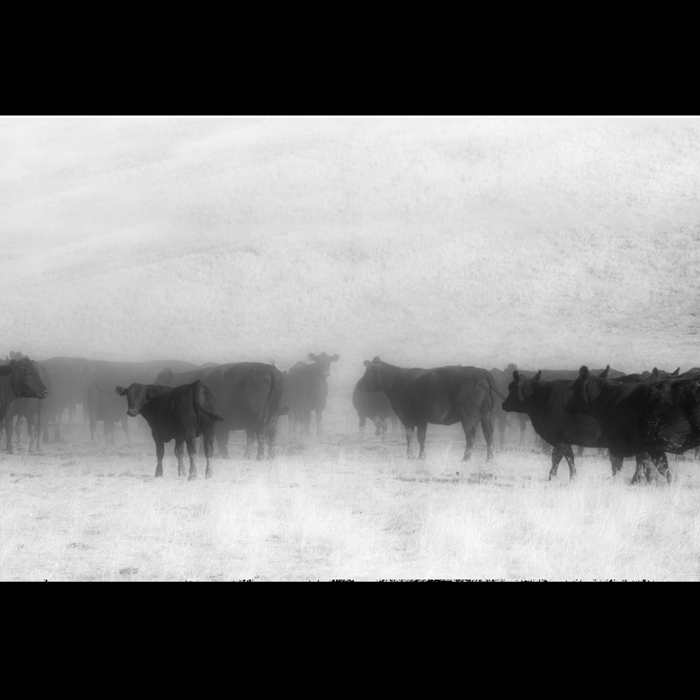 Dusty Cows