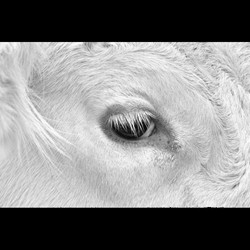 Eye of the Cow