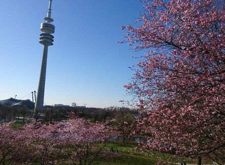 Sakura 桜-Kirschblüten