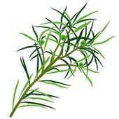 L'huile essentielle de Tea Tree, une indispensable à la trousse à pharmacie