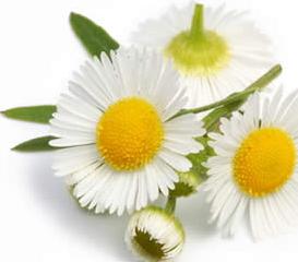 Huile essentielle de Camomille Noble (Chamaemelum nobile), contre les troubles nerveux et bien plus
