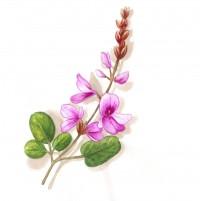 Le Desmodium, une plante précieuse pour votre foie !