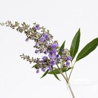 Le Gattilier, une plante formidable pour la femme !