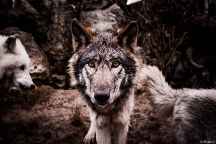 Yam_Wolves_Fauna1_FB-8.jpg