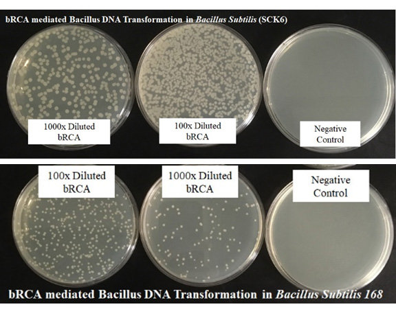 Bacillus DNA Transformation Kit (Cat#:BR100)