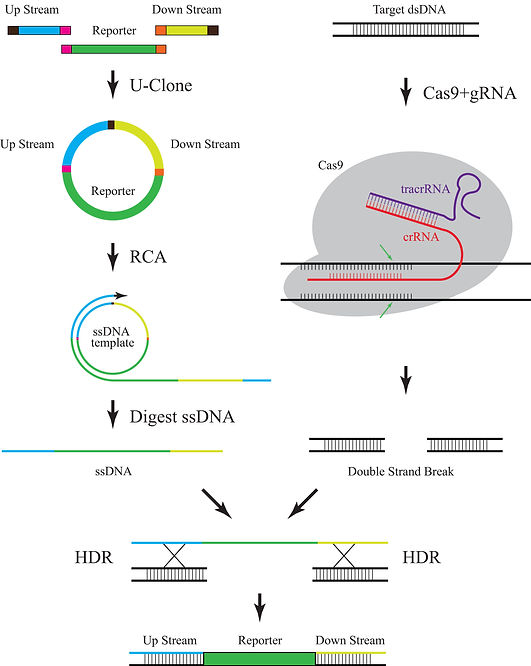 ssDNA-Cas9.jpg