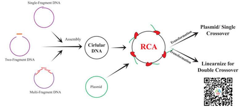 Bacillus RCA.jpg