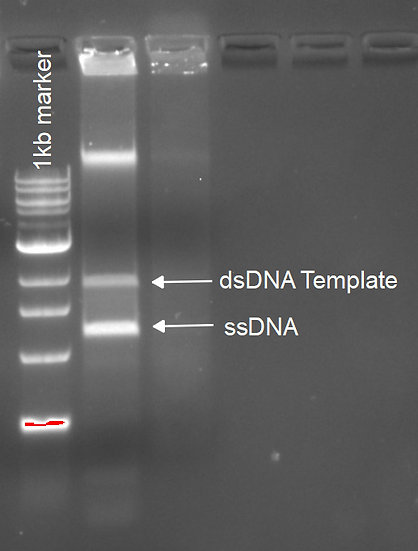 Long ssDNA Production Premix (Cat#: ss100)