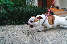 Close up angry face Chihuahua dog on the leash.jpg