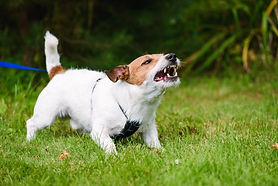Angry dog aggressively barking and defending his territory.jpg