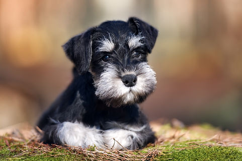 adorable miniature schnauzer puppy lying