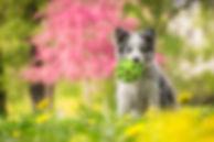 Cute Little Blue Merle Border Collie Pup