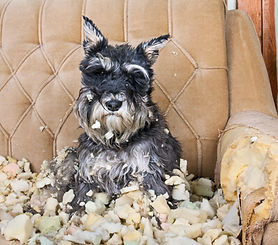 Naughty%20bad%20schnauzer%20puppy%20dog%20sitting%20on%20a%20couch%20that%20she%20has%20ju