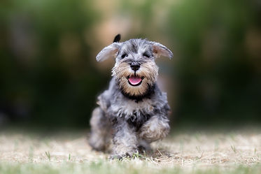 Miniature puppy Schnauzer at Play.jpg