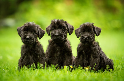 Three giant schnauzer puppies sitting on