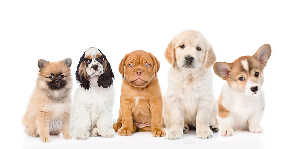 group of purebred puppies. isolated on w