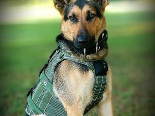 K-9 Sirius receives his vest