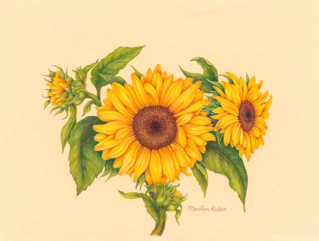 Sunflower - 3rd Place Drawing