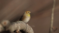 goldfinch11 (1).28.20editc
