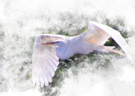 Great Egret in Flight - 2nd Place Digitally Enhanced Photography