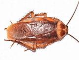 american-cockroach-dorsal.jpg