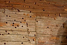 Damage caused by Powder Post Beetles and Old House Borers
