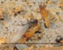 45-termite-e-subterranean-termite-473.jp