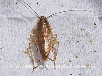 german-cockroach.jpg