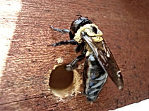 A carpenter bee has damaged the wood