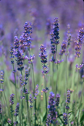 Deposit Payment for Taste of Lavender Tour