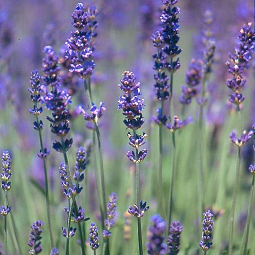 Deposit Payment for Taste of Lavender Tour