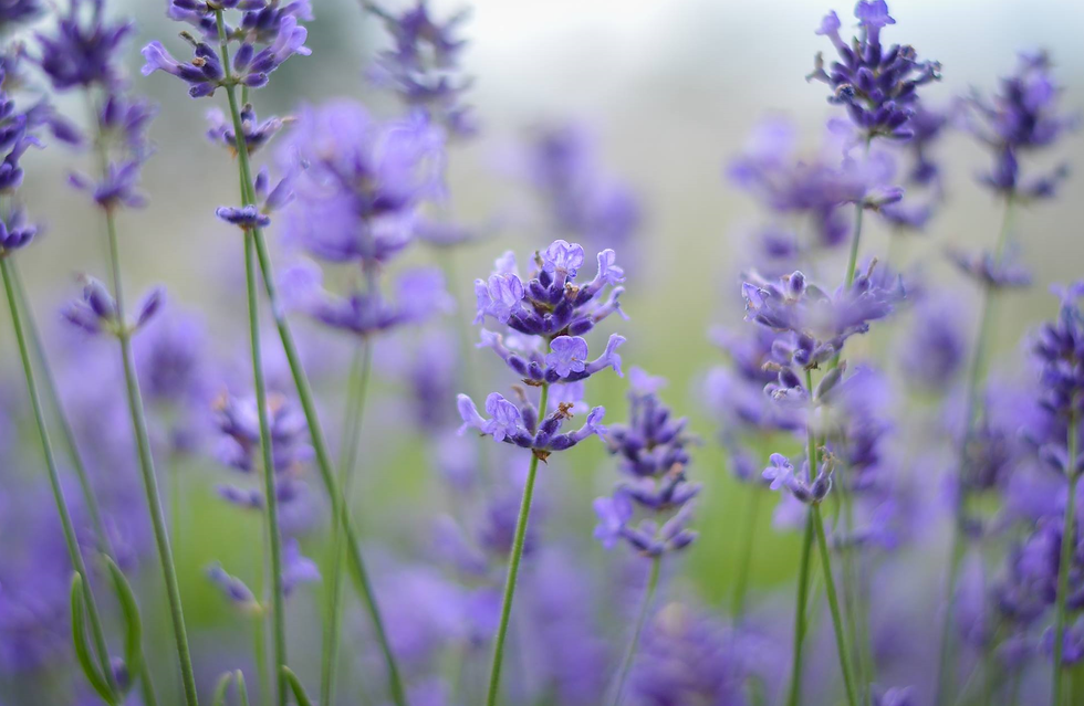 our lavender 2.png