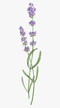 308-3083662_lavender-transparent-transpa